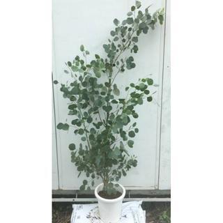 《現品》ユーカリ・ポポラス 樹高1.5m(鉢含まず)16【鉢/苗木/鉢植え】(その他)