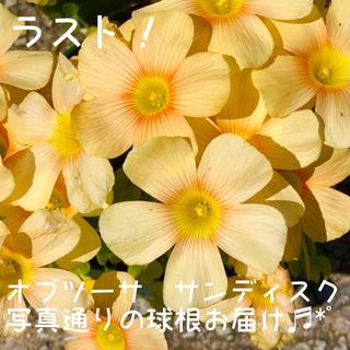 大輪 超レア☆増量☆値下げ☆オキザリス オブツーサ サンディスク  球根5粒(その他)