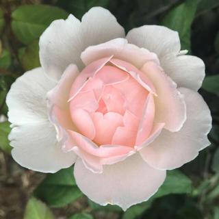 シャリファアスマ 薔薇苗 挿木(プランター)