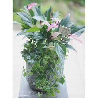 🌿観葉植物❁cuteなpinkのアンスリウムジズー&爽やかグリーンの寄せ植え(プランター)