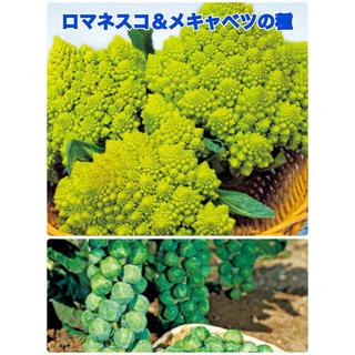 【人気野菜種2種セット】ロマネスコ(グリーンアンブレラ)&メキャベツ(早生子持)(野菜)