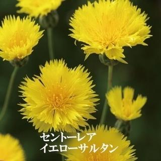 秋まき花の種 「セントーレア・イエローサルタン」を50粒 キバナニオイヤグルマ(その他)