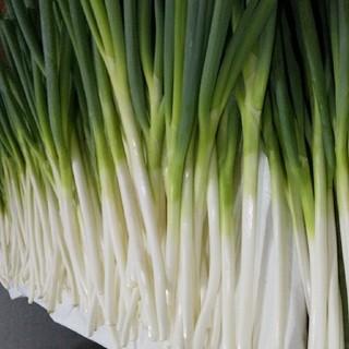 8月5日からの発送     鳥取県境港産 白ネギ3 kg            (野菜)