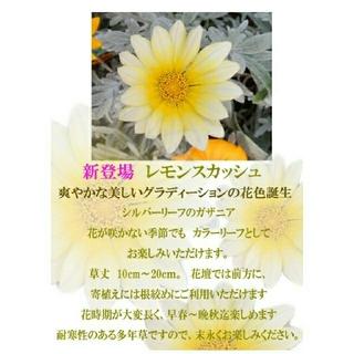 ガザニア レモンスカッシュ シルバーリーフ 挿し穂3本(その他)