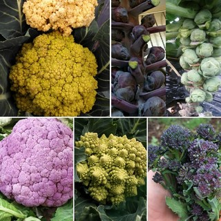 野菜の種 秋冬準備 人気の4種 芽キャベツ ロマネスコなど(野菜)