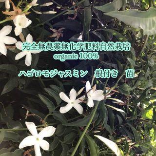 ジャスミン 羽衣 ハゴロモ 1苗 抜き苗 根つき苗 自然栽培 発送方法お任せ(その他)