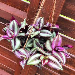 観葉植物 セブリナ(4号 吊り鉢)■ポトス、ベラボン、ベビーサンローズ同梱割あり(その他)
