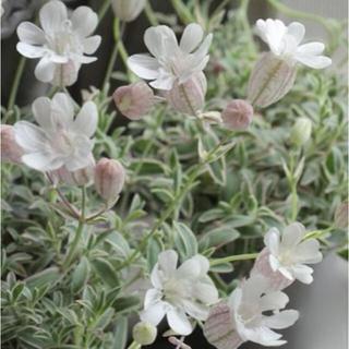 常緑宿根多年草シレネユニフローラ ナッキーホワイト30粒 オランダ種子(その他)