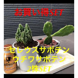 【セレウスサボテン&ウチワサボテン2SET お買い得‼️】(その他)