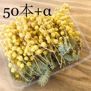 アカシアミモザのドライフラワーの小枝達50本+オマケ②セット(ドライフラワー)