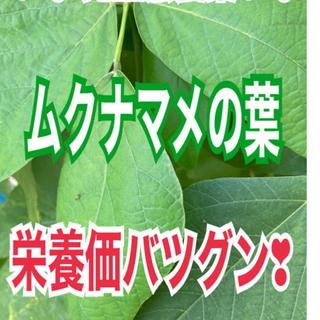 農薬使用せず✧︎*。ムクナ豆の乾燥葉❣️茶葉に✧︎*。(野菜)