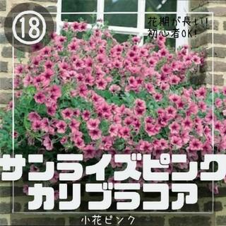 ペチュニア⑱【カリブラコア】サンライズピンク 種子30粒(その他)