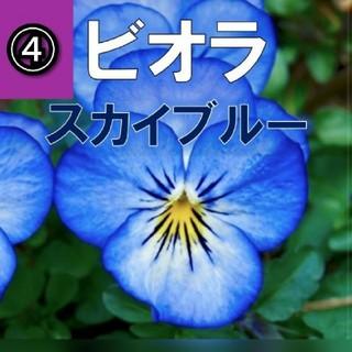 【パンジー、ビオラ】④スカイブルー 種子約12粒前後!(その他)