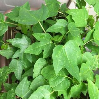 パパイヤの苗 野菜 フルーツ 観葉植物(野菜)