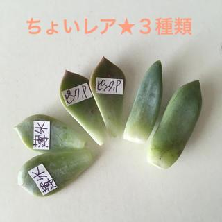【葉挿し3種類】薄氷・ピンクプリティ・千代田の松/(多肉植物)(その他)