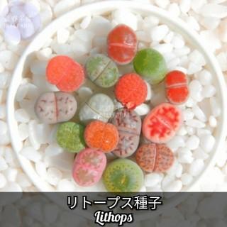 多肉植物【リトープスlithops】リビングストーン 種子10粒!(その他)