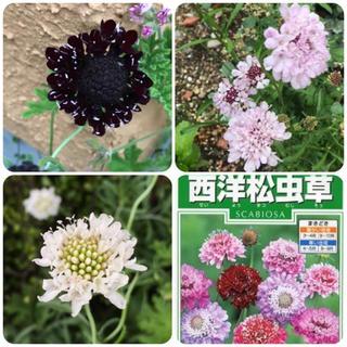 スカビオサ 西洋松虫草 タネ ミックス 種子 ☆ 紫 白 ピンク たね 種(その他)