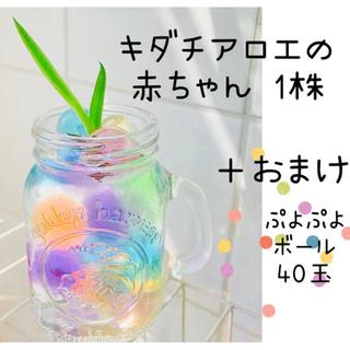キダチアロエの赤ちゃん 子株 1コ // おまけ付(その他)
