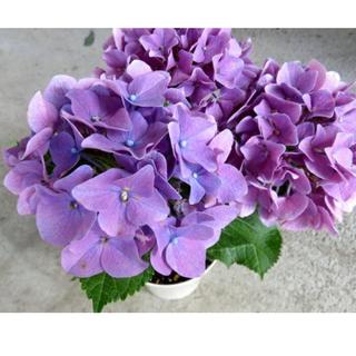 HBA パープル 紫陽花 挿し木(その他)
