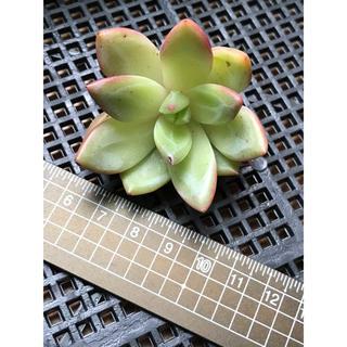 多肉植物 エケベリア ピンクシャンペン カット苗‼️(その他)