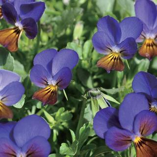 ビオラ タネ ブルー 種子 種 花の種 (その他)