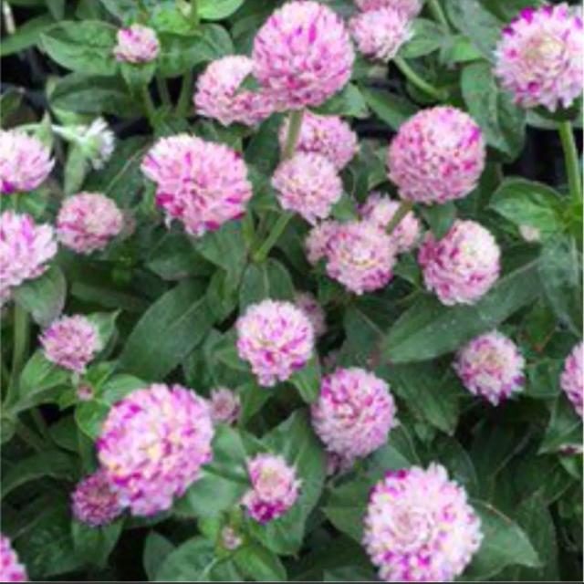 新品種❣️千日紅の種 エレスチャル  即購入歓迎❣️ ハンドメイドのフラワー/ガーデン(その他)の商品写真