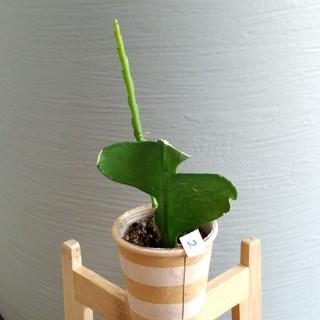② ジグザグカクタス フィッシュボーン 観葉植物(その他)