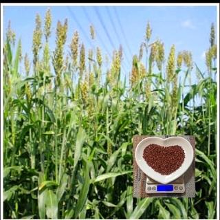【植物の種】【家庭菜園】【肥料】緑肥用ソルゴー(ソルガム)の種40g(その他)