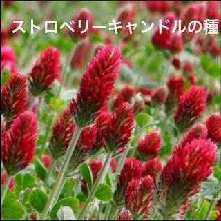 ストロベリーキャンドルの種(その他)