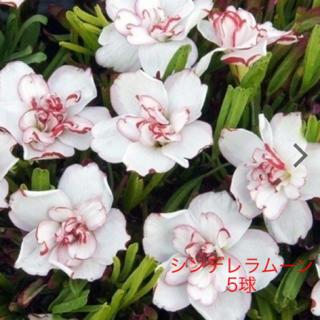 八重咲きオキザリス シンデレラムーン球根 5球(その他)