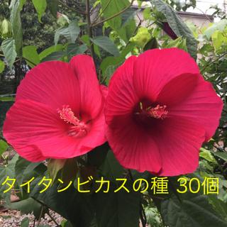 タイタンビカスの種④⭐️【ブライトレッド】30個+α(その他)