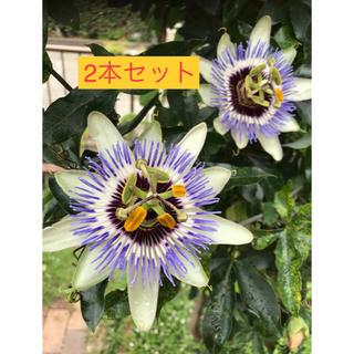 トケイソウ苗 2本セット❗️(その他)