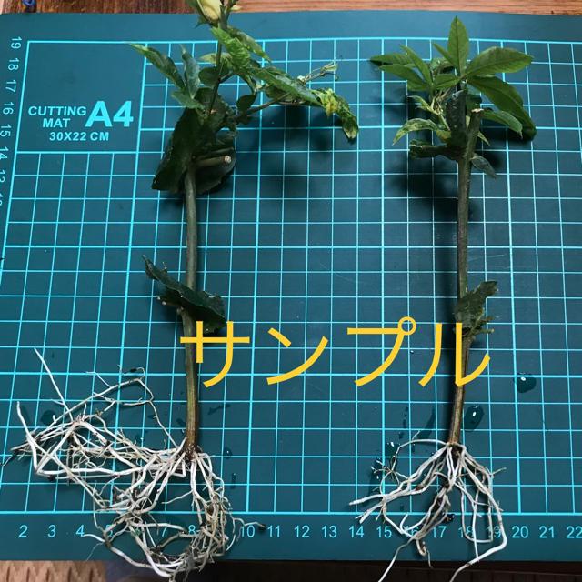 トケイソウ苗 2本セット‼️ ハンドメイドのフラワー/ガーデン(その他)の商品写真