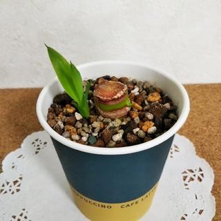 ユッカ 青年の木 ミニ苗  観葉植物(その他)