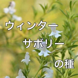 【豆のハーブ‼️】ウインターサボリーの種 20粒 家庭菜園 ハーブ 野菜 タネ(野菜)