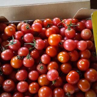 ミニトマト一キロ無農薬