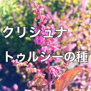 【万能ハーブ】クリシュナトゥルシーの種 10粒 ホーリーバジル バジル 種(野菜)