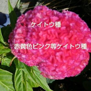 赤ピンク黄色などの けいとう種(その他)