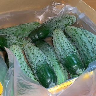 信州伝統野菜  八町きゅうりコンパクト1キロ以上(野菜)