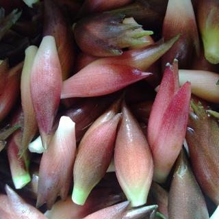 ともさま専用 夏みょうが 500g 茗荷 無農薬 天然 無施肥 自然栽培(野菜)