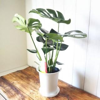 ゆきんこ様専用❗️⑤モンステラ‼️大人気観葉植物❗️受皿付(プランター)