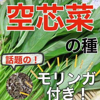 【アジア野菜の定番‼️】空芯菜の種 5ml エンツァイ 野菜 空心菜 モリンガ(野菜)