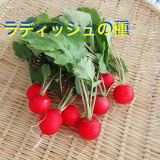 ラディッシュの種 約50粒(野菜)