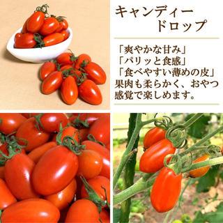 【サクッと食感】高糖度ミニトマト キャンディードロップ 約500g 無農薬(野菜)
