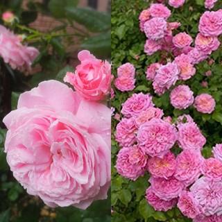 華やかピンク薔薇2本セット♡マリーヘンリエッテ&スウィートドリフト バラ苗 小苗(その他)