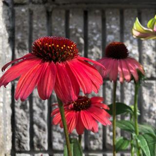 エキナセア ルージュノワール  花の種(その他)