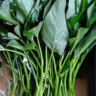 福岡県産★空芯菜500g  栽培期間中農薬不使用 朝摘みコンパクト便