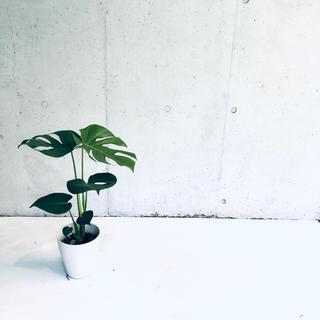 観葉植物モンステラ H56cm 6号鉢 SALE価格!今だけ送料無料!(その他)