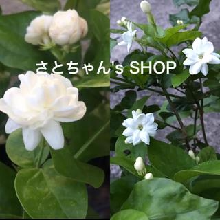 香り良し♡真夏の暑さに強い♡アラビアンジャスミン♡バラ咲き♡一重咲き♡2SET♡(プランター)