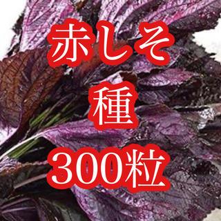 赤じそ種たっぷり300粒(その他)
